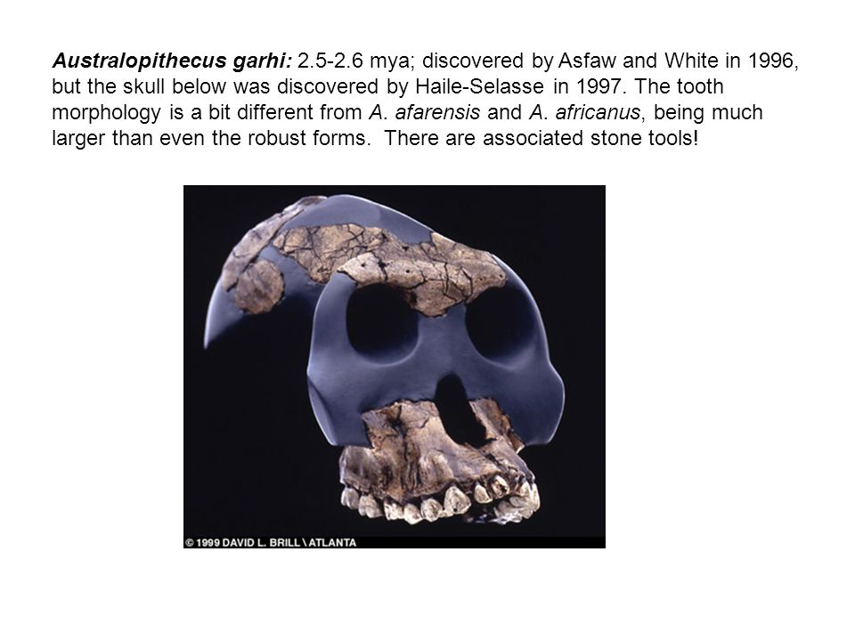 Australopithecus garhi: 2.5-2.6 mya; discovered by Asfaw and White in 1996, but the skull below was discovered by Haile-Selasse in 1997.