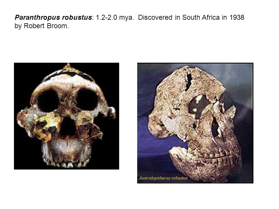 Paranthropus robustus: 1.2-2.0 mya. Discovered in South Africa in 1938 by Robert Broom.