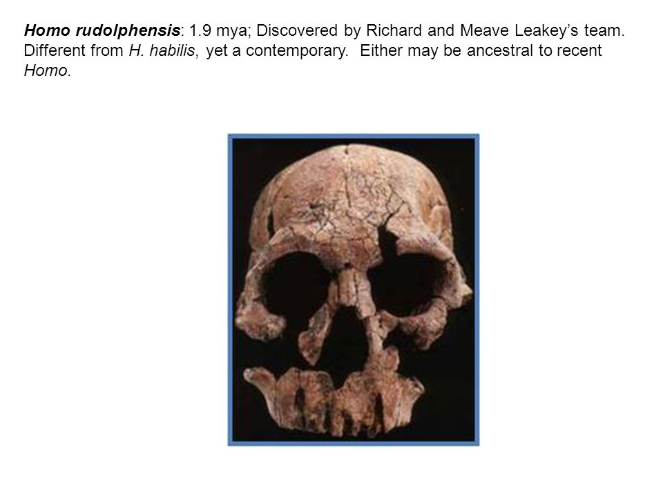 Homo rudolphensis: 1.9 mya; Discovered by Richard and Meave Leakey's team. Different from H. habilis, yet a contemporary. Either may be ancestral to r