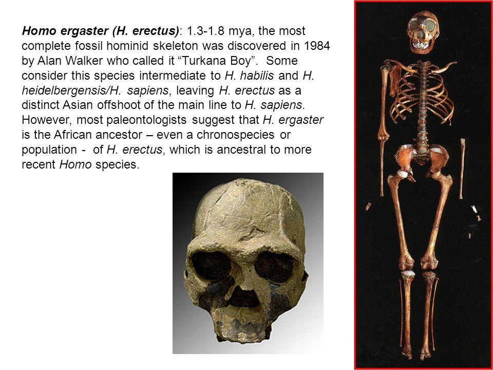 Homo ergaster (H.