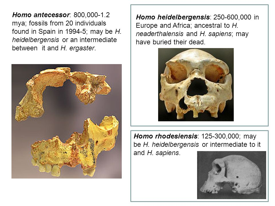 Homo antecessor: 800,000-1.2 mya; fossils from 20 individuals found in Spain in 1994-5; may be H. heidelbergensis or an intermediate between it and H.