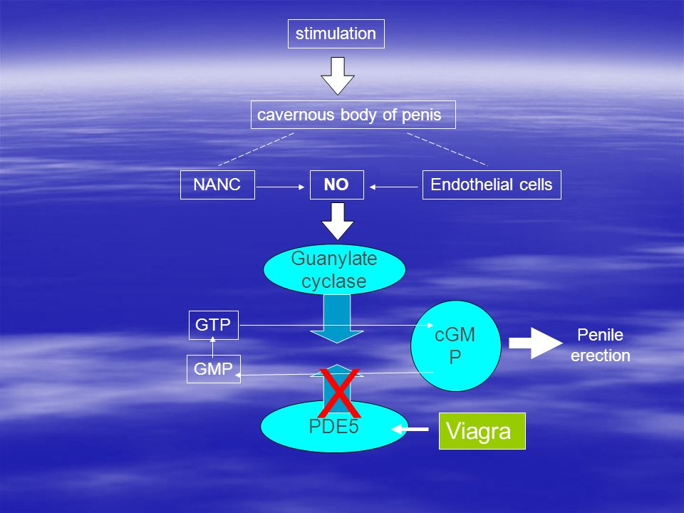 NANCNOEndothelial cells Guanylate cyclase cGM P PDE5 GTP GMP Penile erection stimulation cavernous body of penis Viagra X