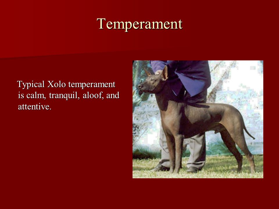 Temperament Typical Xolo temperament is calm, tranquil, aloof, and attentive. Typical Xolo temperament is calm, tranquil, aloof, and attentive.