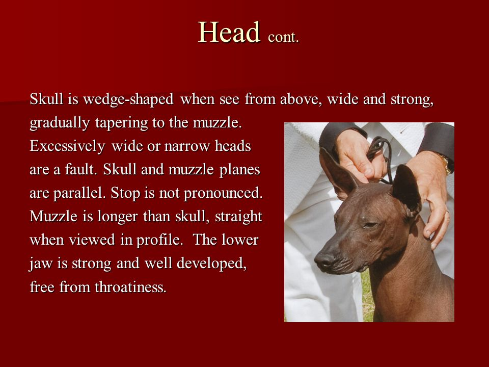 Head cont. Skull is wedge-shaped when see from above, wide and strong, gradually tapering to the muzzle. Excessively wide or narrow heads are a fault.