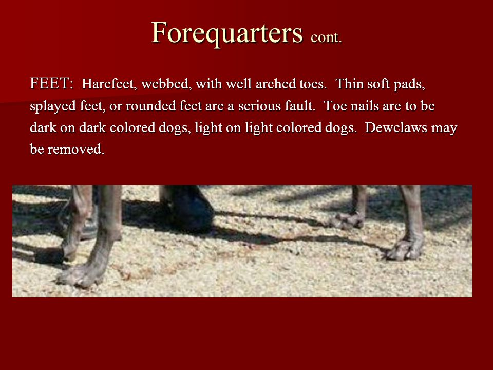 Forequarters cont. FEET: Harefeet, webbed, with well arched toes. Thin soft pads, splayed feet, or rounded feet are a serious fault. Toe nails are to