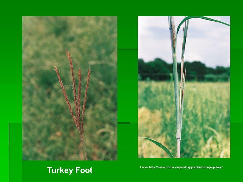 Turkey Foot