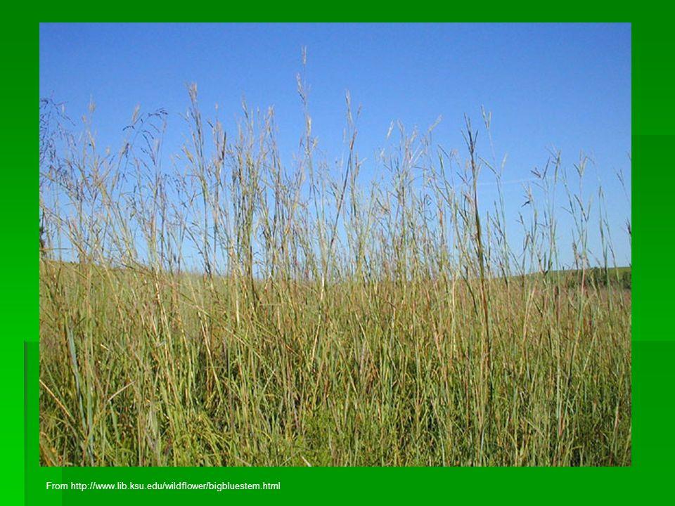 From http://www.lib.ksu.edu/wildflower/bigbluestem.html