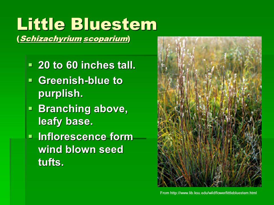 Little Bluestem (Schizachyrium scoparium)  20 to 60 inches tall.