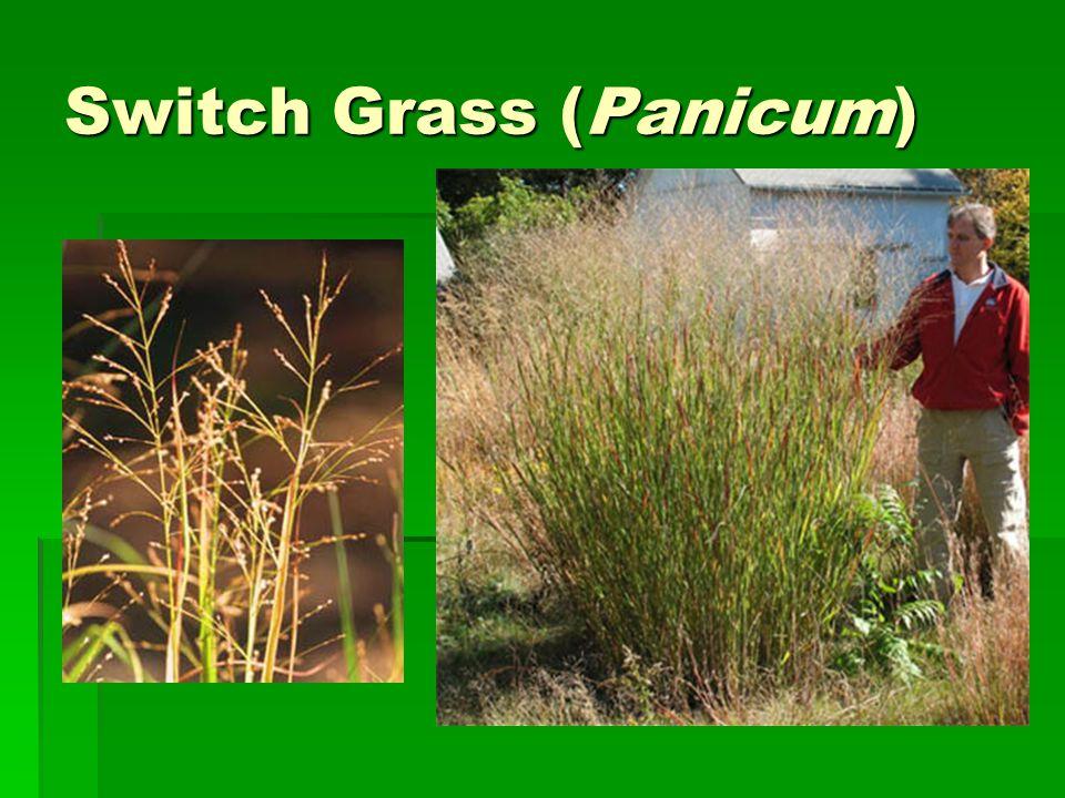 Switch Grass (Panicum)