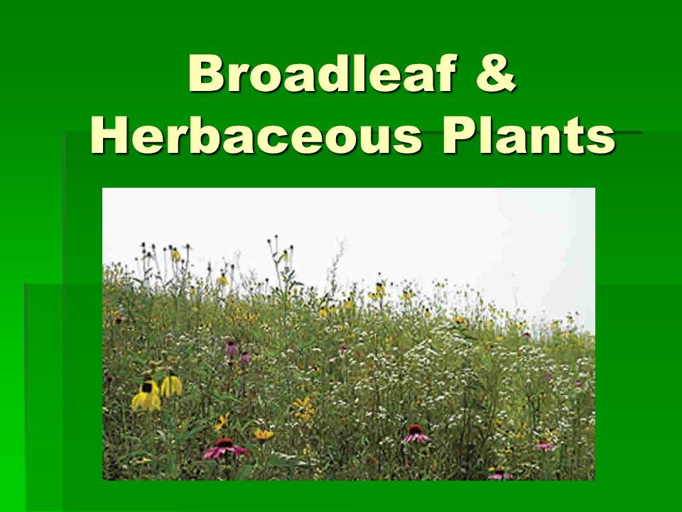 Broadleaf & Herbaceous Plants