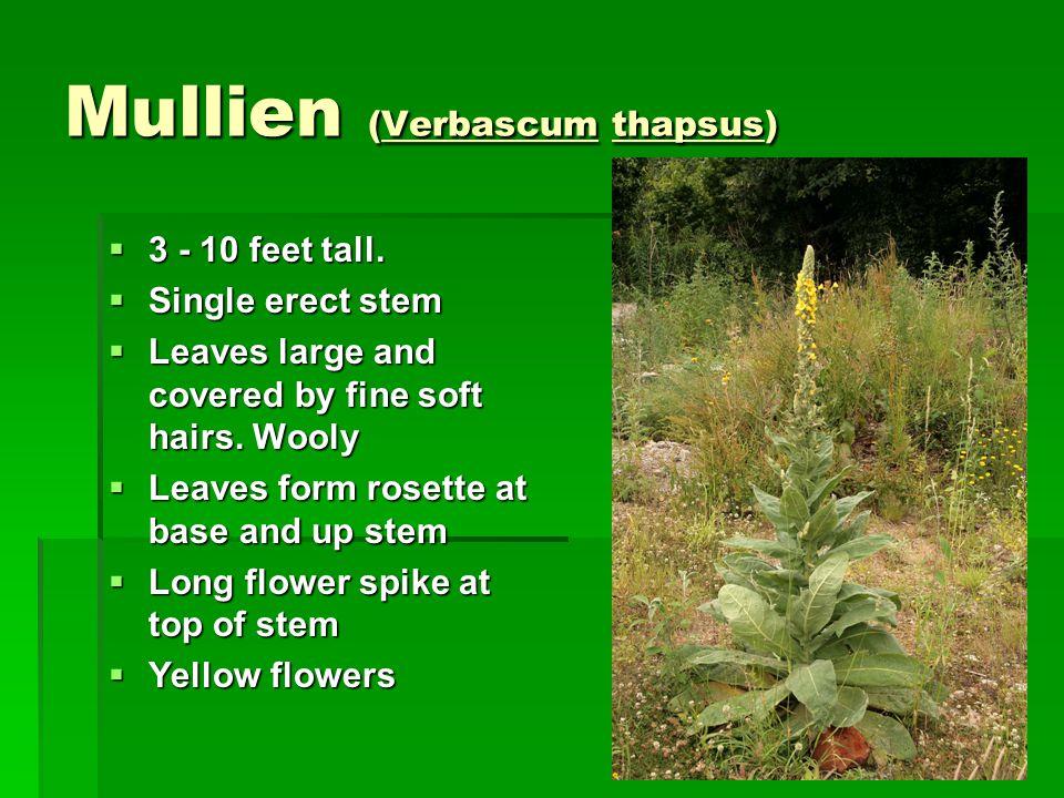 Mullien (Verbascum thapsus)  3 - 10 feet tall.