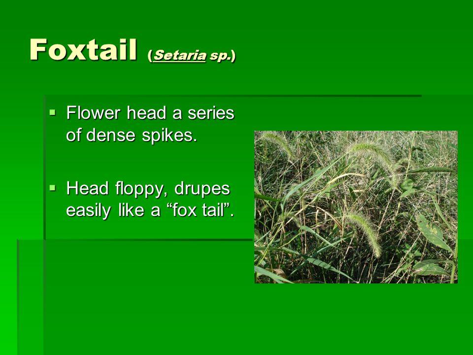 Foxtail (Setaria sp.)  Flower head a series of dense spikes.