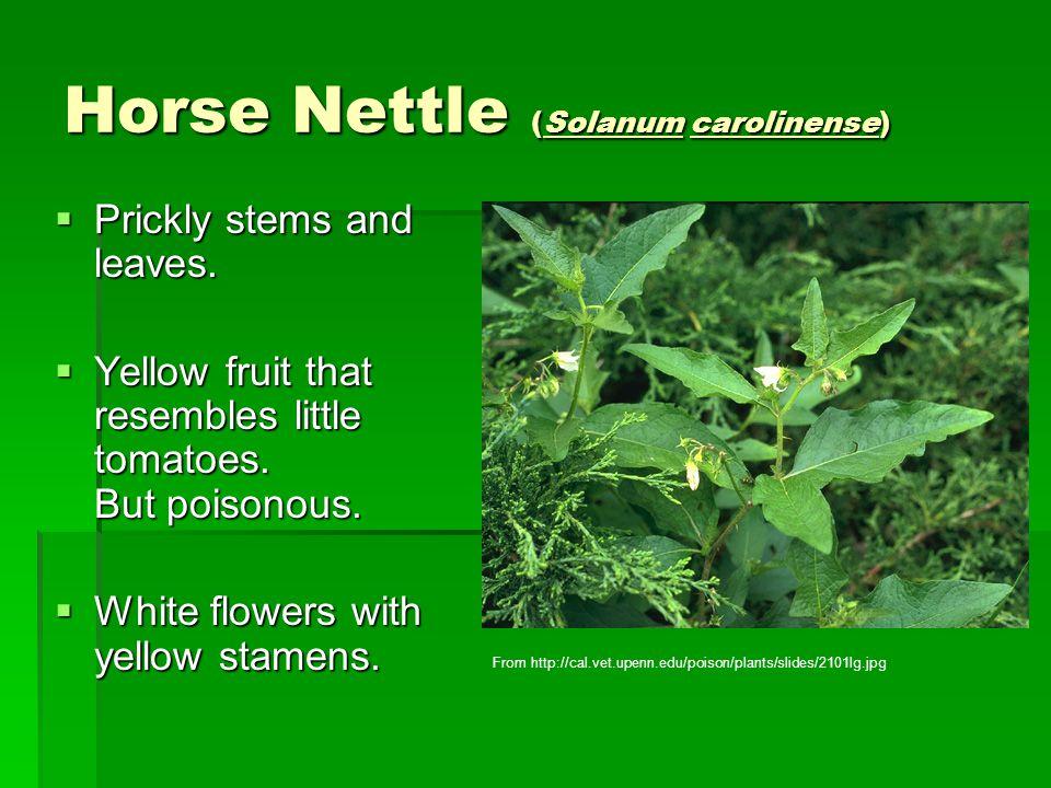 Horse Nettle (Solanum carolinense)  Prickly stems and leaves.