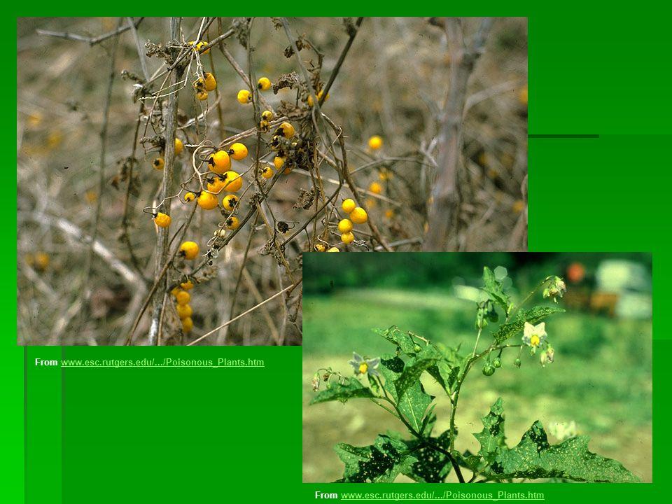 From www.esc.rutgers.edu/.../Poisonous_Plants.htmwww.esc.rutgers.edu/.../Poisonous_Plants.htm From www.esc.rutgers.edu/.../Poisonous_Plants.htmwww.esc.rutgers.edu/.../Poisonous_Plants.htm