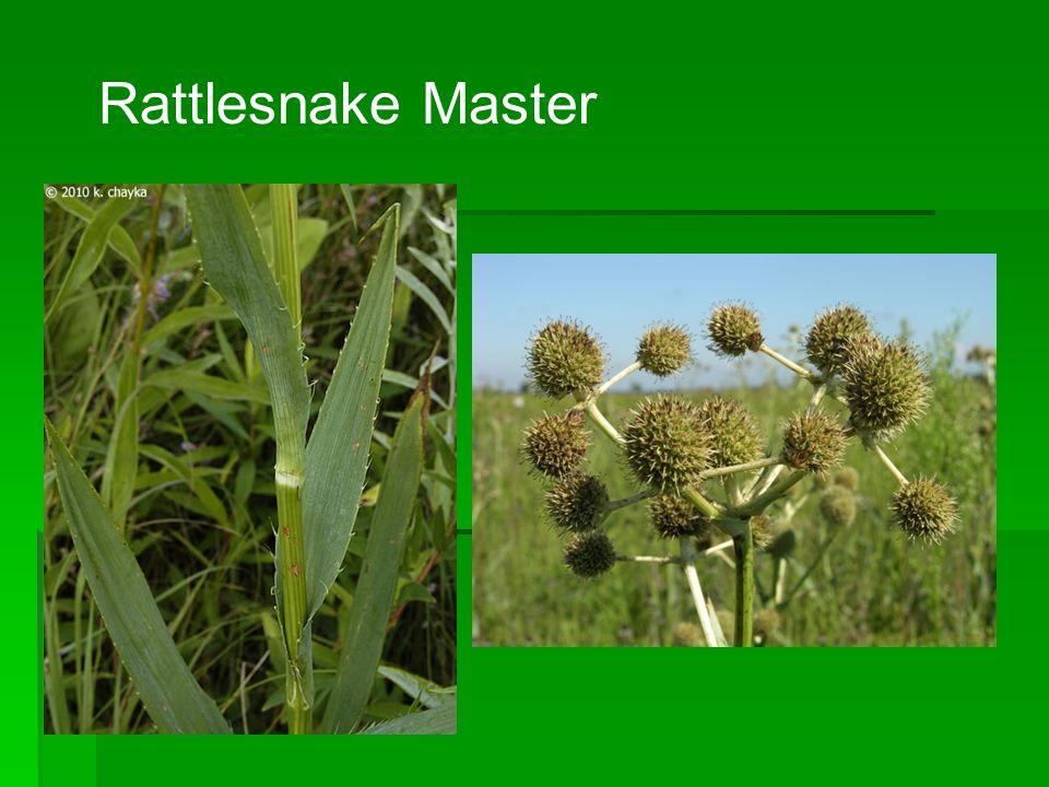 Rattlesnake Master