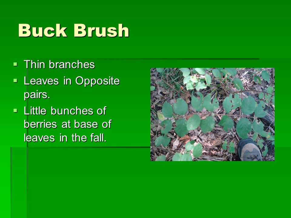 Buck Brush  Thin branches  Leaves in Opposite pairs.