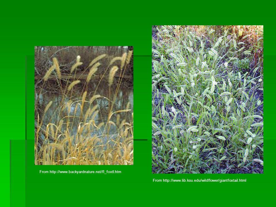 From http://www.backyardnature.net/fl_foxtl.htm From http://www.lib.ksu.edu/wildflower/giantfoxtail.html