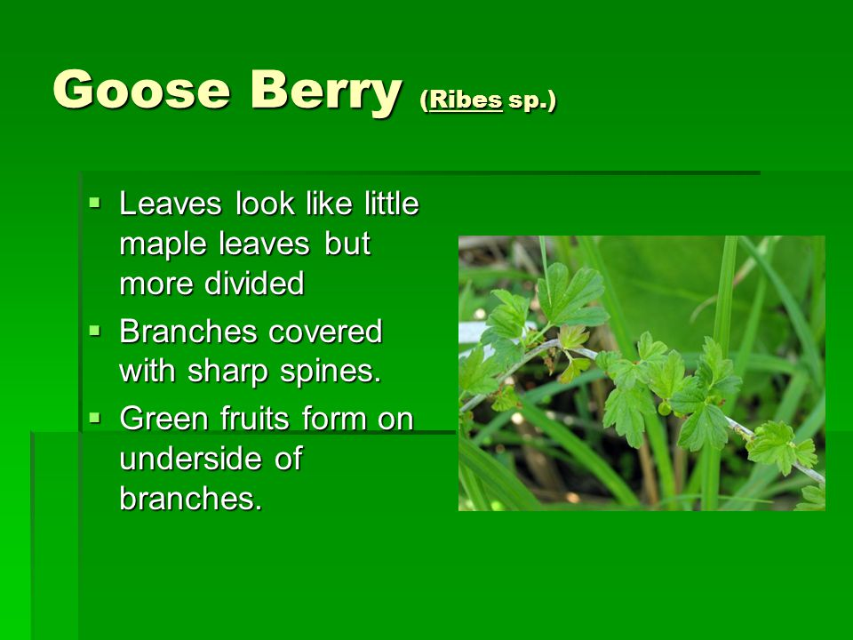Goose Berry (Ribes sp.)  Leaves look like little maple leaves but more divided  Branches covered with sharp spines.