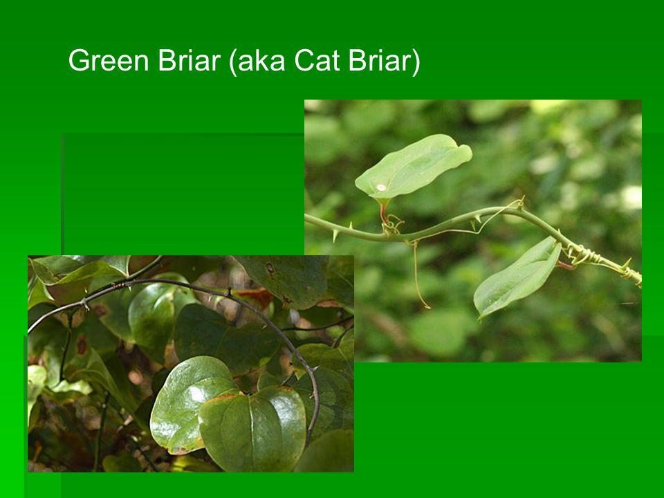 Green Briar (aka Cat Briar)