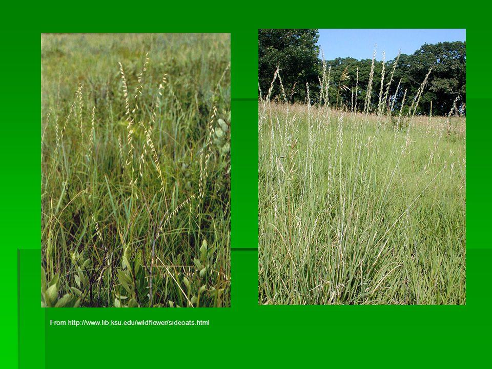 From http://www.lib.ksu.edu/wildflower/sideoats.html