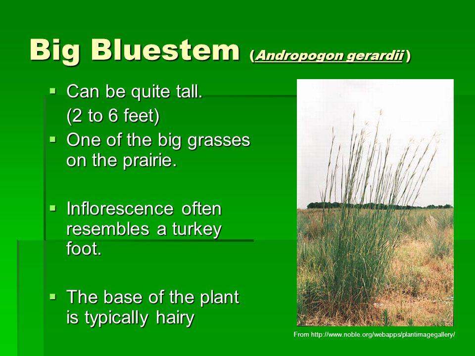Big Bluestem (Andropogon gerardii )  Can be quite tall.
