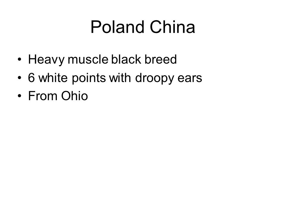 Poland China Heavy muscle black breed 6 white points with droopy ears From Ohio