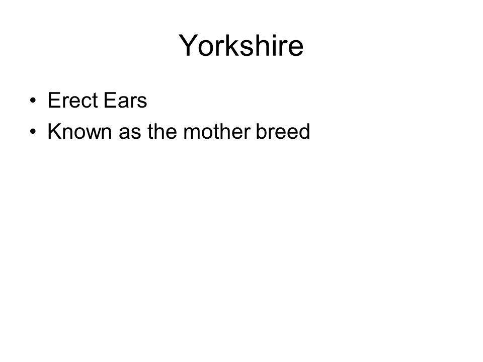 Yorkshire Erect Ears Known as the mother breed