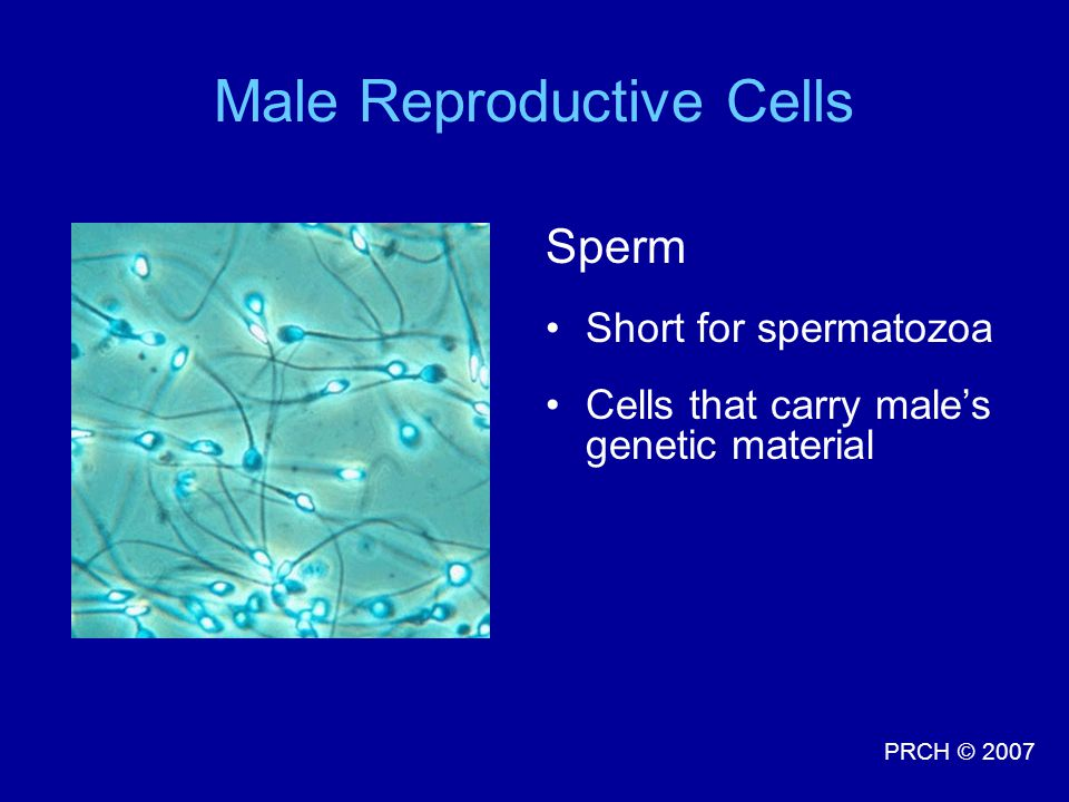 PRCH © 2007 Male Reproductive Cells Sperm Short for spermatozoa Cells that carry male's genetic material