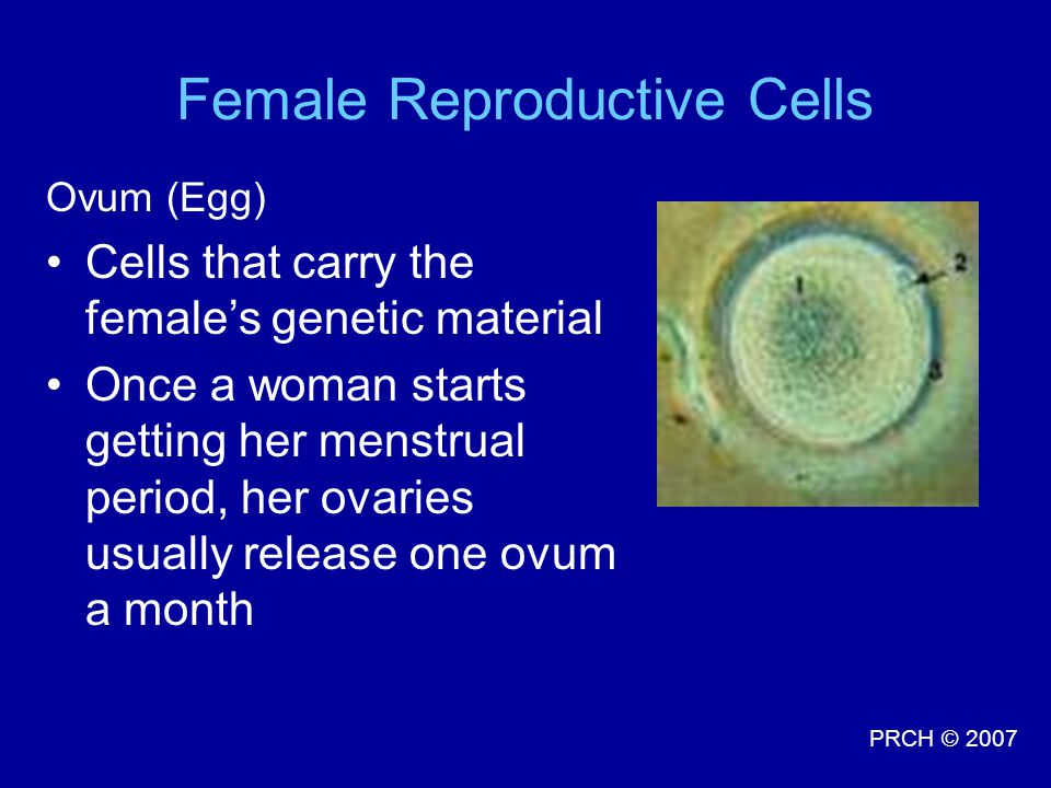 PRCH © 2007 Ovum (Egg) Cells that carry the female's genetic material Once a woman starts getting her menstrual period, her ovaries usually release one ovum a month Female Reproductive Cells
