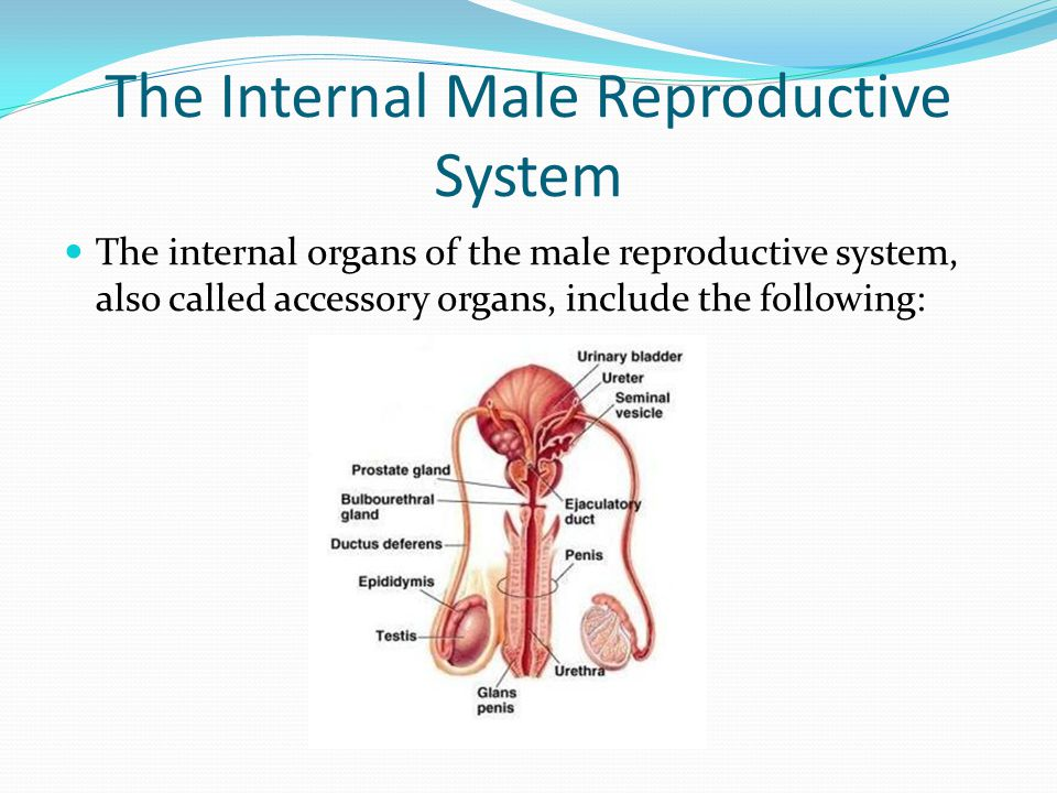The Internal Male Reproductive System The internal organs of the male reproductive system, also called accessory organs, include the following: