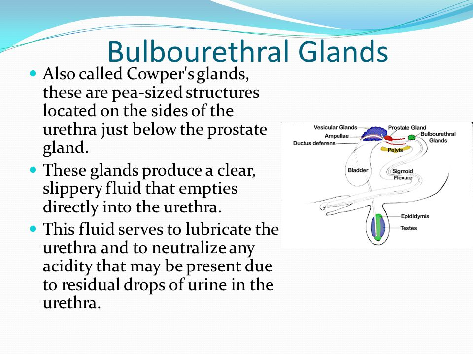 Bulbourethral Glands Also called Cowper's glands, these are pea-sized structures located on the sides of the urethra just below the prostate gland. Th