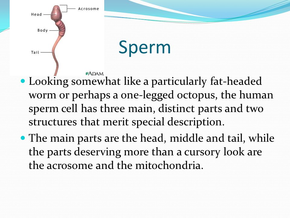 Sperm Looking somewhat like a particularly fat-headed worm or perhaps a one-legged octopus, the human sperm cell has three main, distinct parts and tw