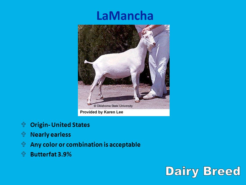 LaMancha UOrigin- United States UNearly earless UAny color or combination is acceptable UButterfat 3.9%
