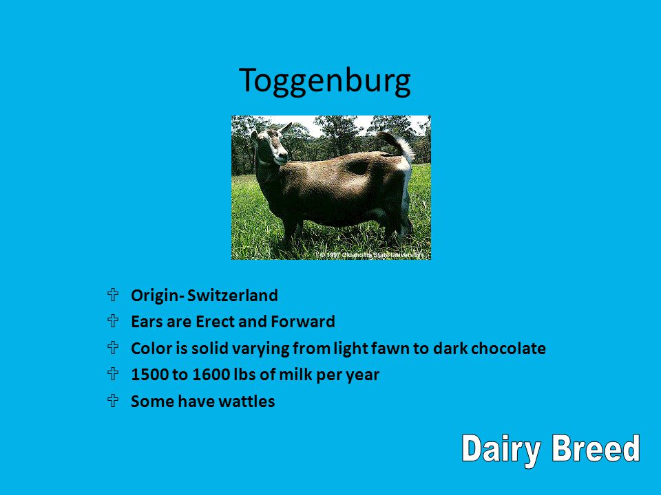 Toggenburg U Origin- Switzerland U Ears are Erect and Forward U Color is solid varying from light fawn to dark chocolate U 1500 to 1600 lbs of milk per year U Some have wattles