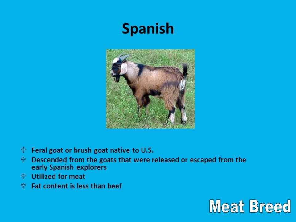 Spanish U Feral goat or brush goat native to U.S.