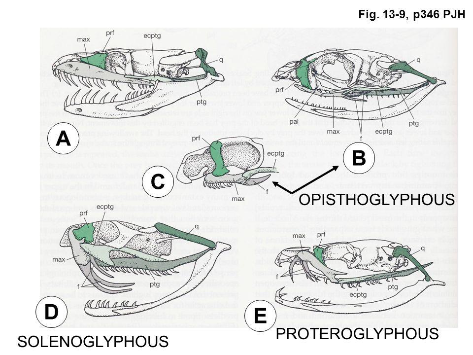 Fig. 13-9, p346 PJH A B C D E OPISTHOGLYPHOUS SOLENOGLYPHOUS PROTEROGLYPHOUS