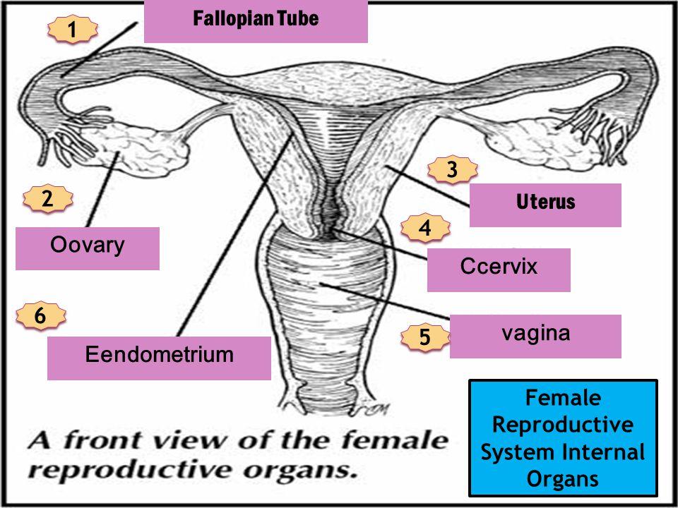 Fallopian Tube Oovary Eendometrium Uterus Ccervix vagina Female Reproductive System Internal Organs 1 1 2 2 3 3 4 4 5 5 6 6