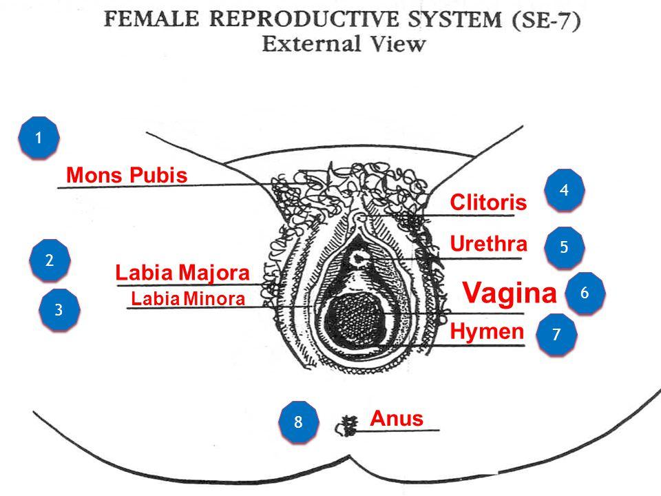 Mons Pubis Labia Majora Labia Minora Clitoris Urethra Hymen Vagina Anus 1 1 2 2 3 3 4 4 5 5 6 6 7 7 8 8