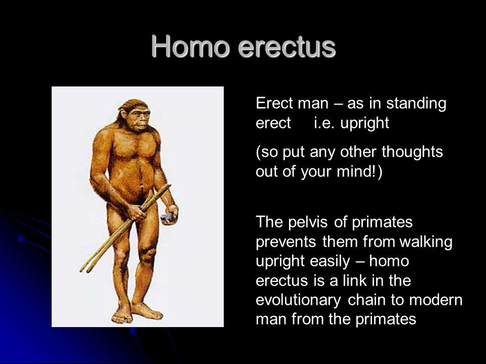Homo erectus Erect man – as in standing erect i.e.