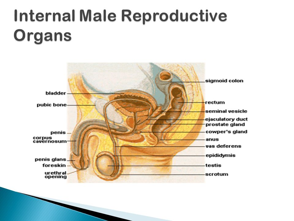  Internal Male Reproductive structures include: ◦ Vas deferens ◦ Urethra ◦ Seminal vesicles ◦ Prostate and Cowper's glands