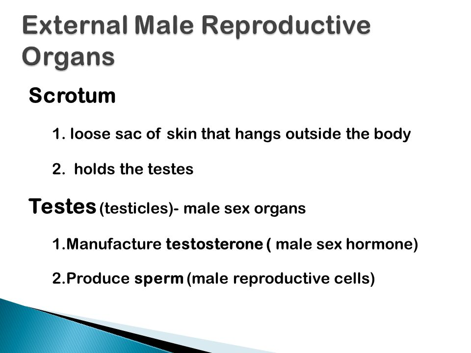  Reproductive glands add secretions that support sperm as they move through the reproductive system  Semen consists of sperm and secretions from the testes, the seminal vesicles, the prostate, and Cowper's glands.