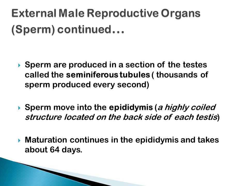  Sperm are produced in a section of the testes called the seminiferous tubules ( thousands of sperm produced every second)  Sperm move into the epididymis (a highly coiled structure located on the back side of each testis)  Maturation continues in the epididymis and takes about 64 days.