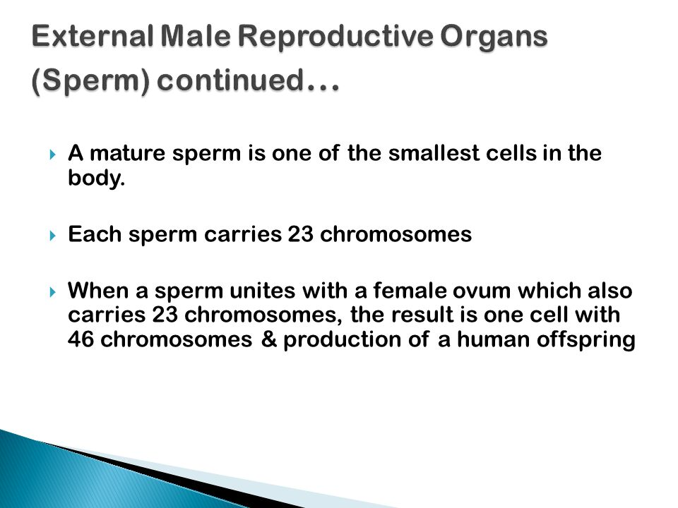  A mature sperm is one of the smallest cells in the body.