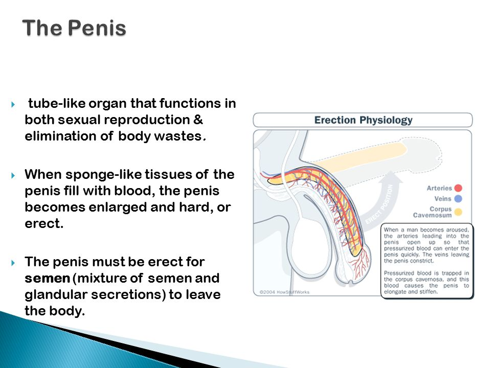  tube-like organ that functions in both sexual reproduction & elimination of body wastes.