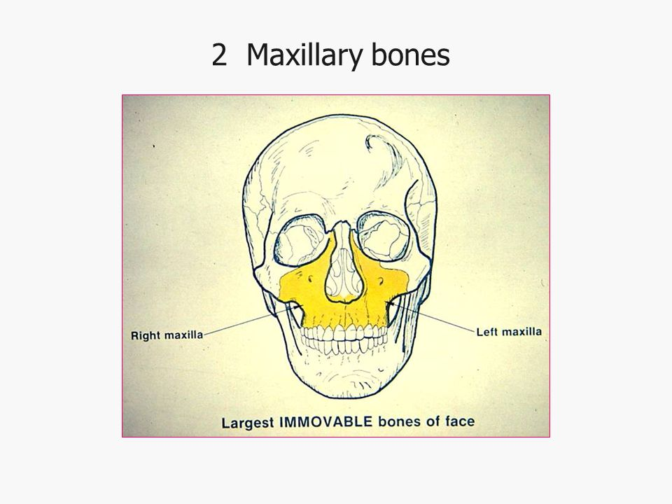 2 Maxillary bones
