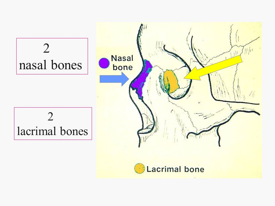 2 nasal bones 2 lacrimal bones