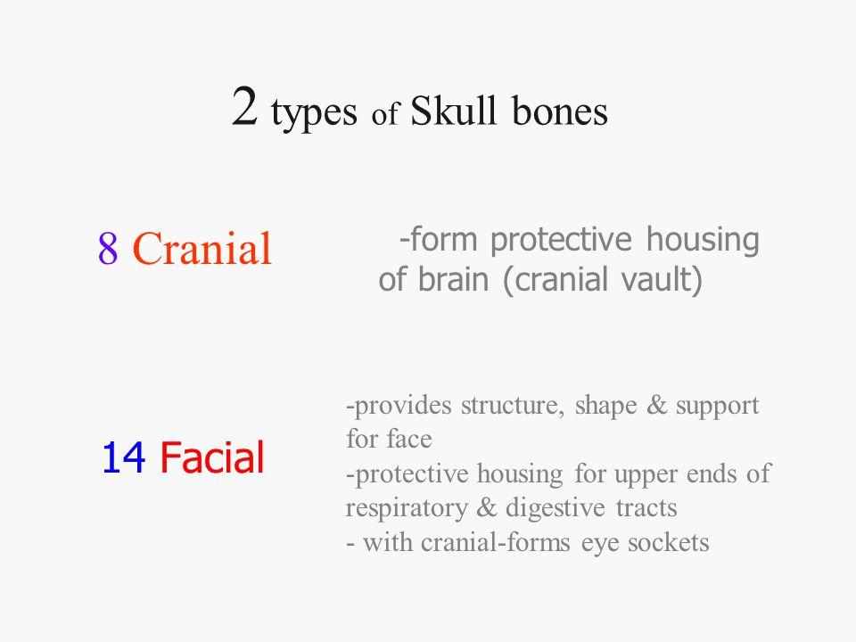 2 Temporal bones