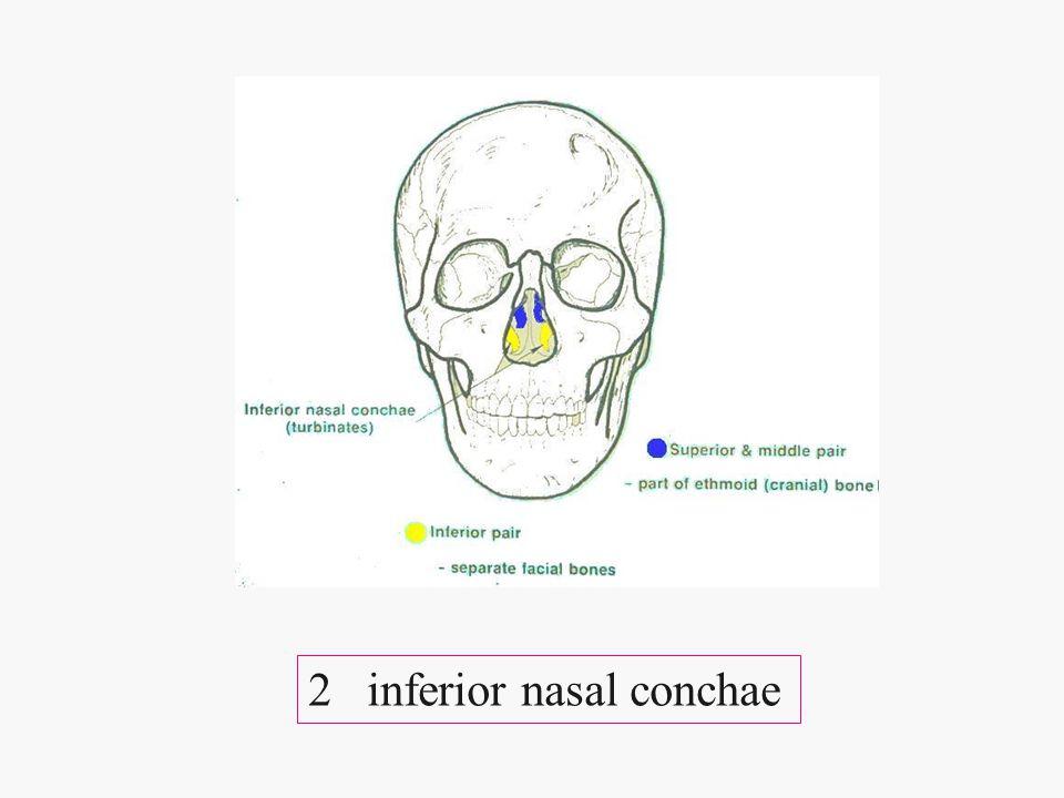2 inferior nasal conchae