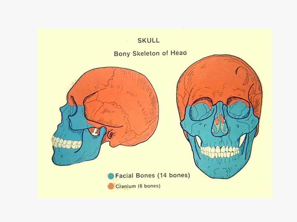 8 Cranial Bones are: 1 Frontal 2 Parietal 1 Occipital 1 Ethmoid 1 Sphenoid 2 Temporal