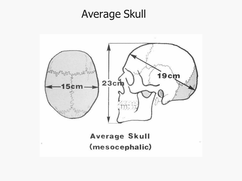 Average Skull